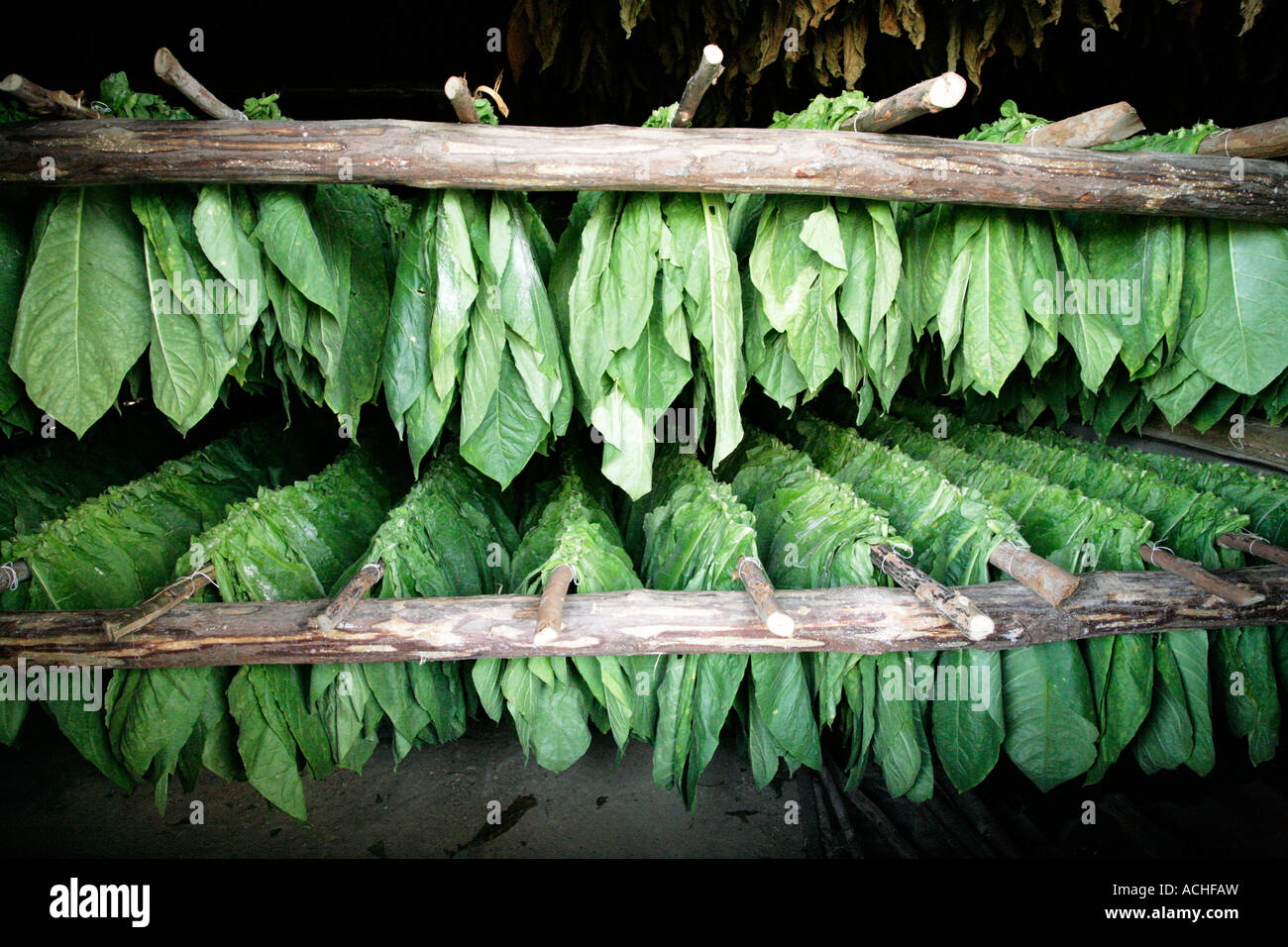 Stock Photo of Tobacco Leaves, Drying on a Rack. - Stock Image