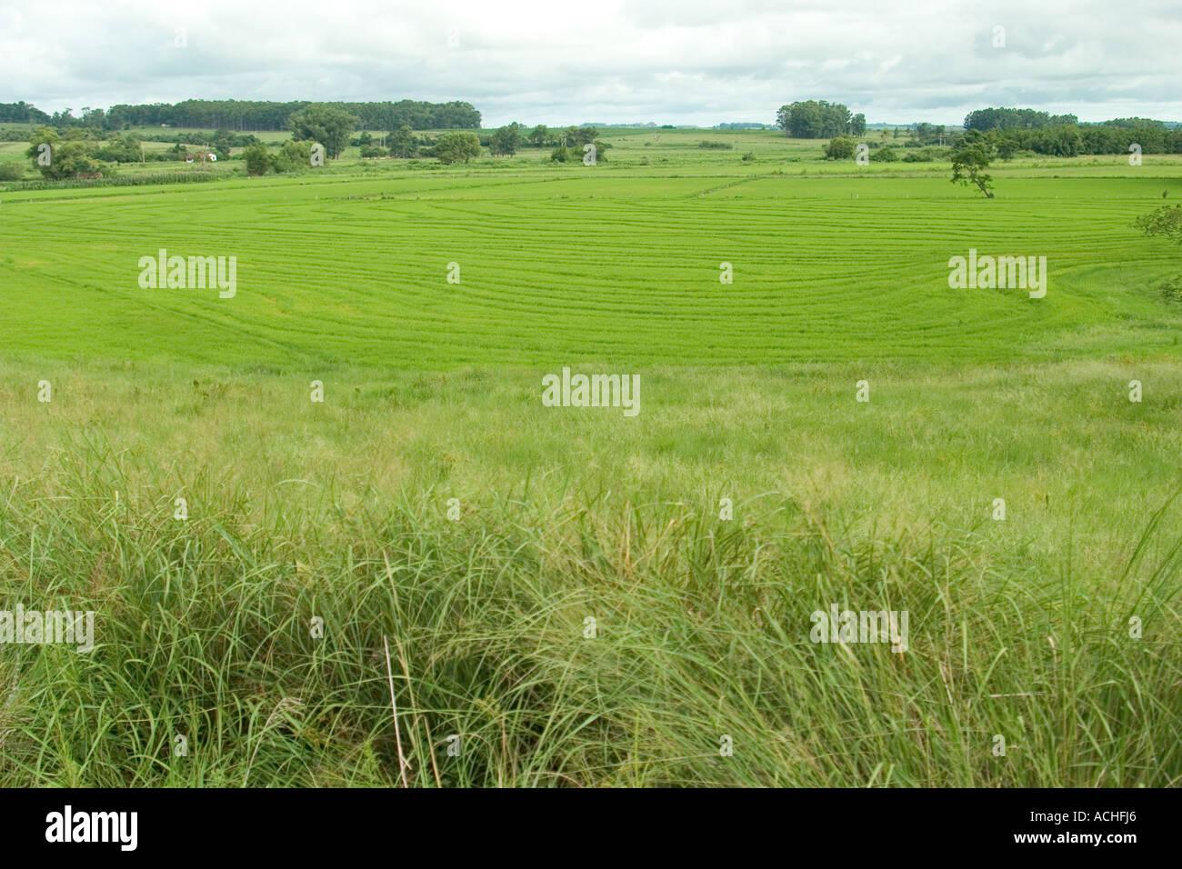 Field of Rice in Rio Grande Do Sul Brazil Brasil Farm Farmer Overcast Light Daytime - Stock Image