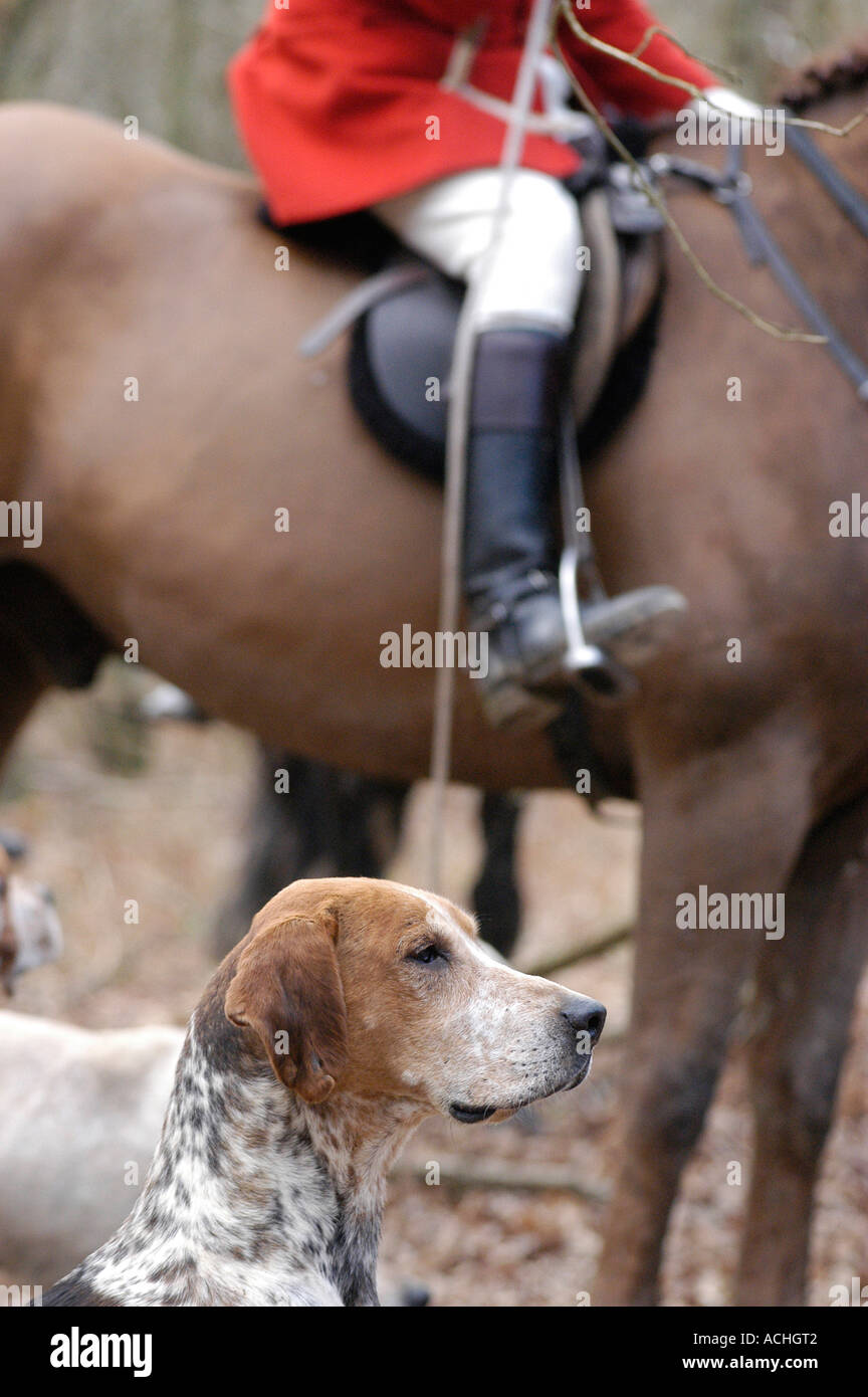 Fox Hound with horse mounted huntsman in the distance. - Stock Image