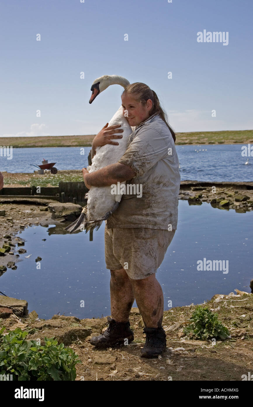 Carrying mute swan, Abbotsbury Swannery, Dorset. - Stock Image