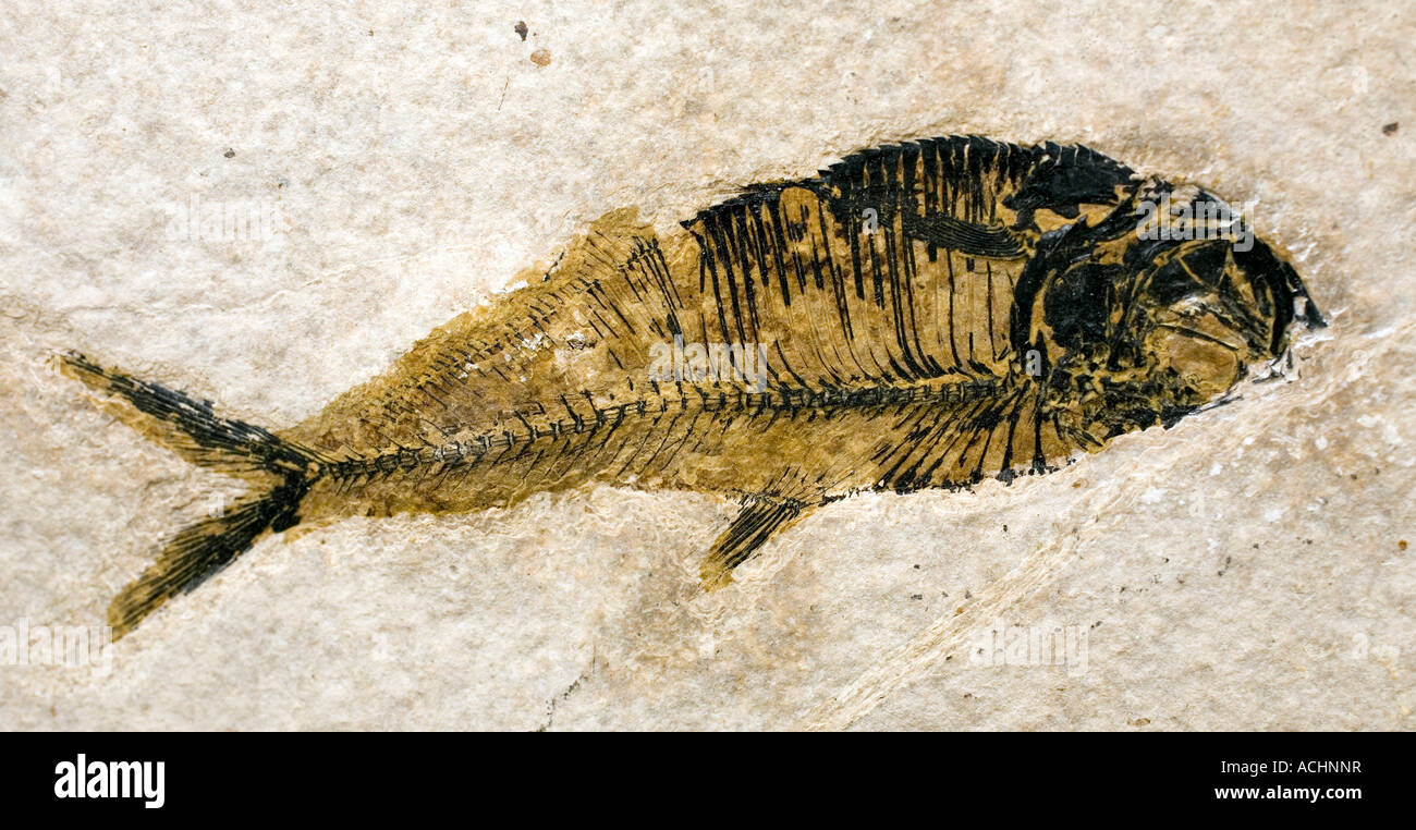 Fossil fish on display during a gems trade show held in Marfa Texas - Stock Image
