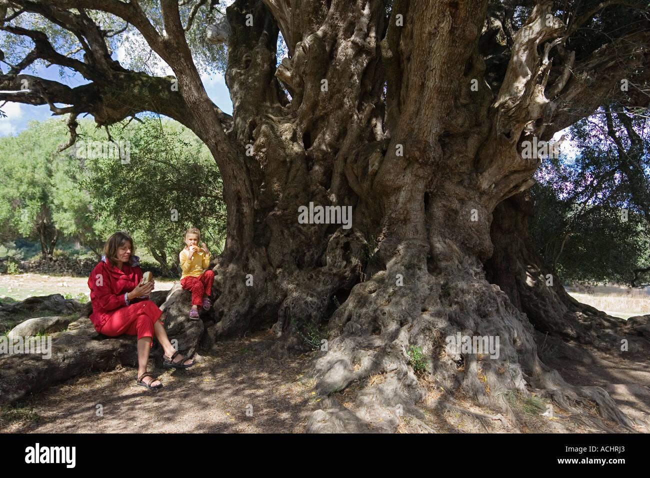 Break under three thousand years old Olive Tree, Olivastri millenari, Sardinia, Italy - Stock Image