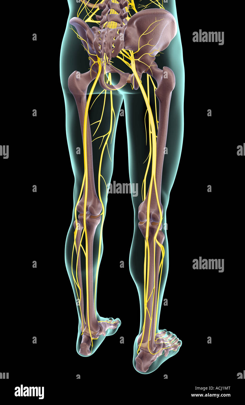 The nerves of the lower body Stock Photo: 13165511 - Alamy