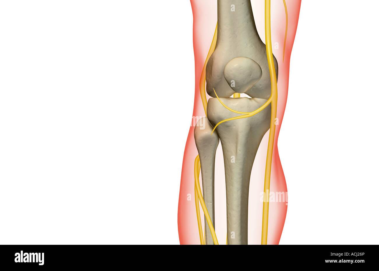 Human Knee Nerves Stock Photos Human Knee Nerves Stock Images Alamy