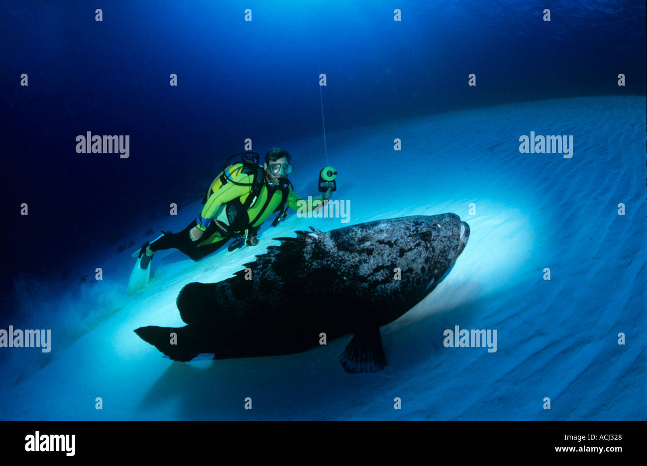 Potato grouper rare due to overfishing for live fish market Aldabra Seychelles - Stock Image