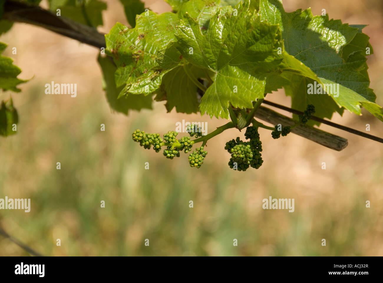 Grapes in April at Edna Valley Vineyards near San Luis Obispo, California - Stock Image