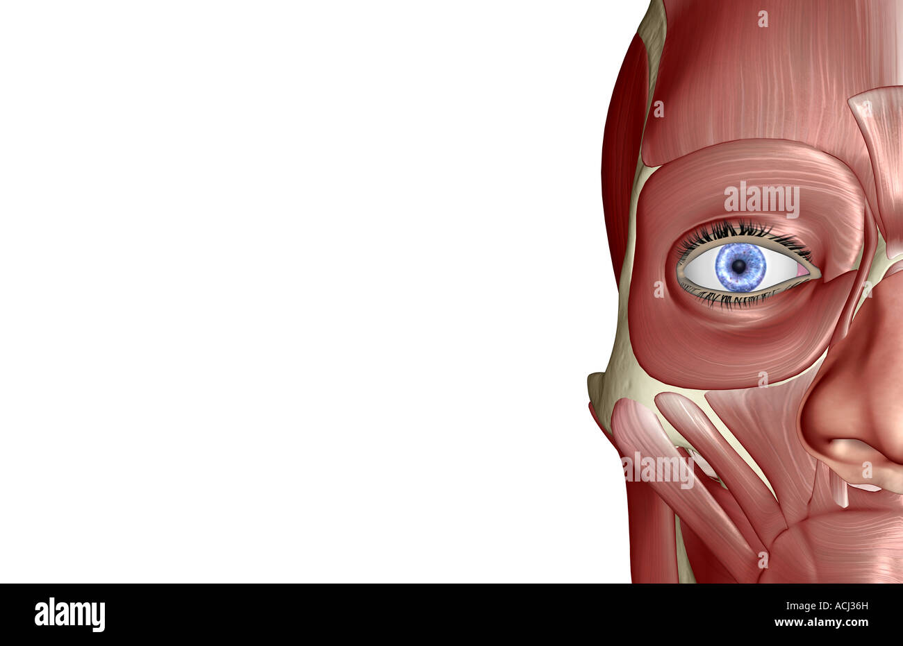 The muscles of the face Stock Photo