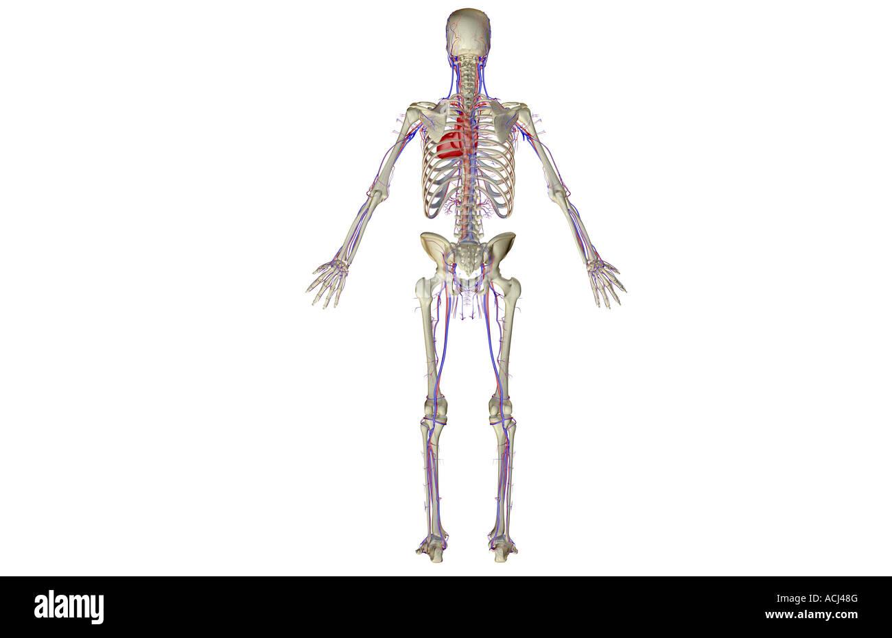 Großartig Kreislauf System Animation Galerie - Anatomie Ideen ...