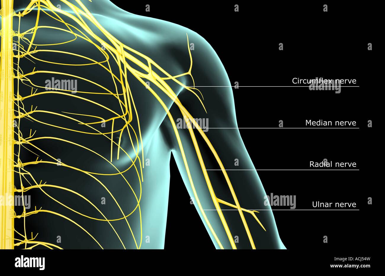 Nerves Shoulder Stock Photos & Nerves Shoulder Stock Images - Page 3 ...