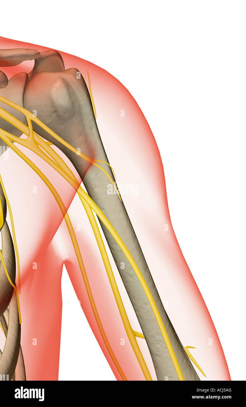 Human Shoulder Nerve Stock Photos & Human Shoulder Nerve Stock ...