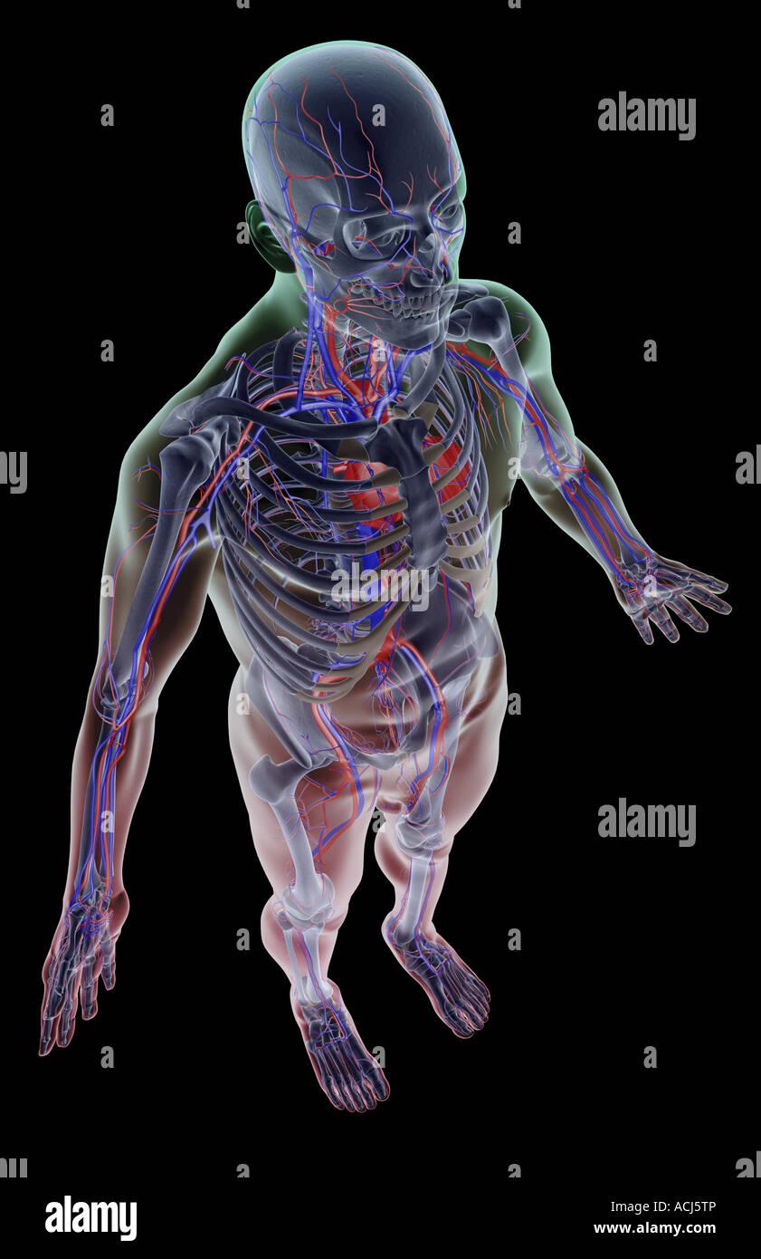 The Vascular System Stock Photo 13166901 Alamy