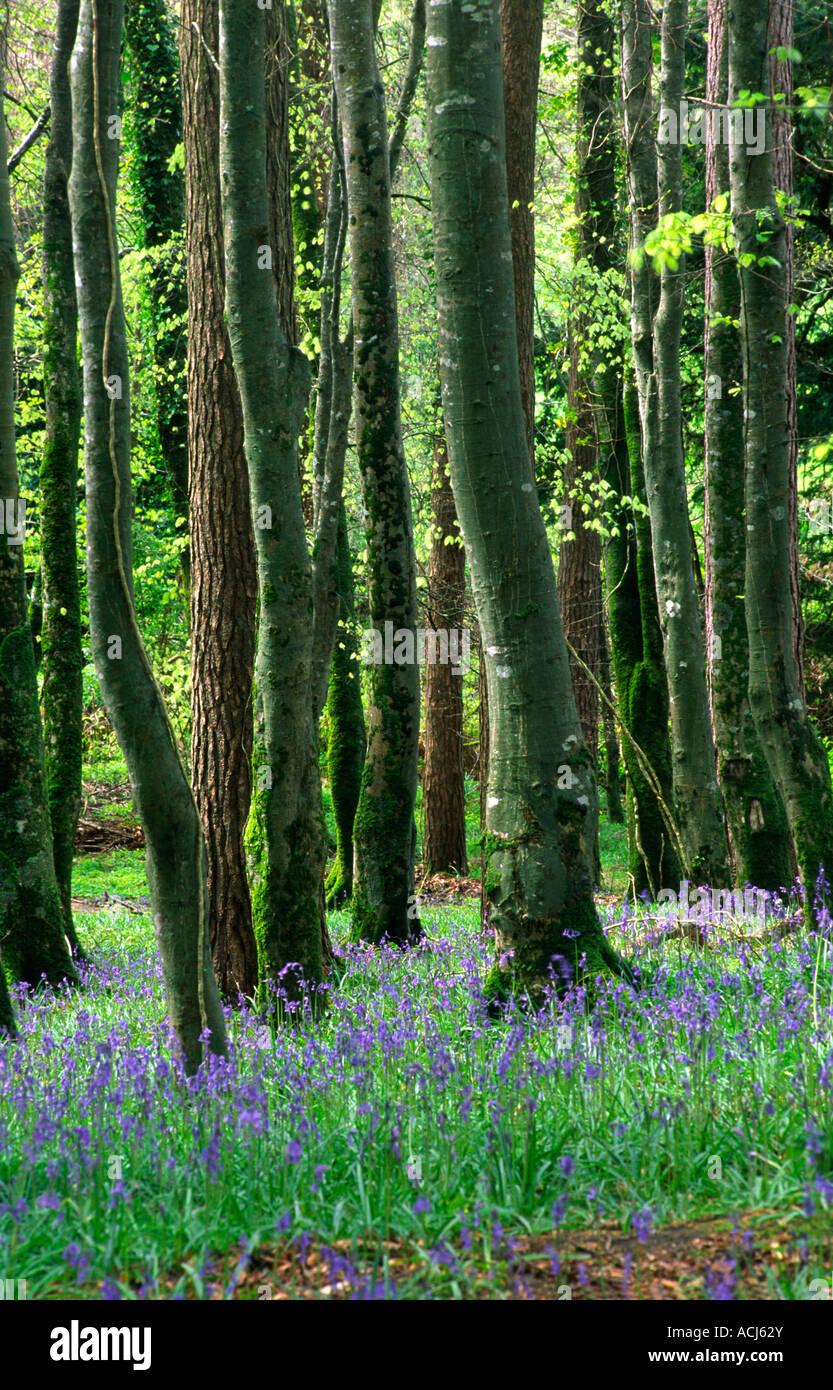 Spring bluebells carpet a beech woodland in Killarney National Park. County Kerry, Ireland. - Stock Image