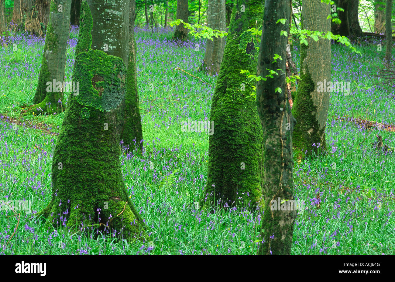 Spring bluebells and moss-covered tree trunks in a beech woodland in Killarney National Park. County Kerry, Ireland. - Stock Image