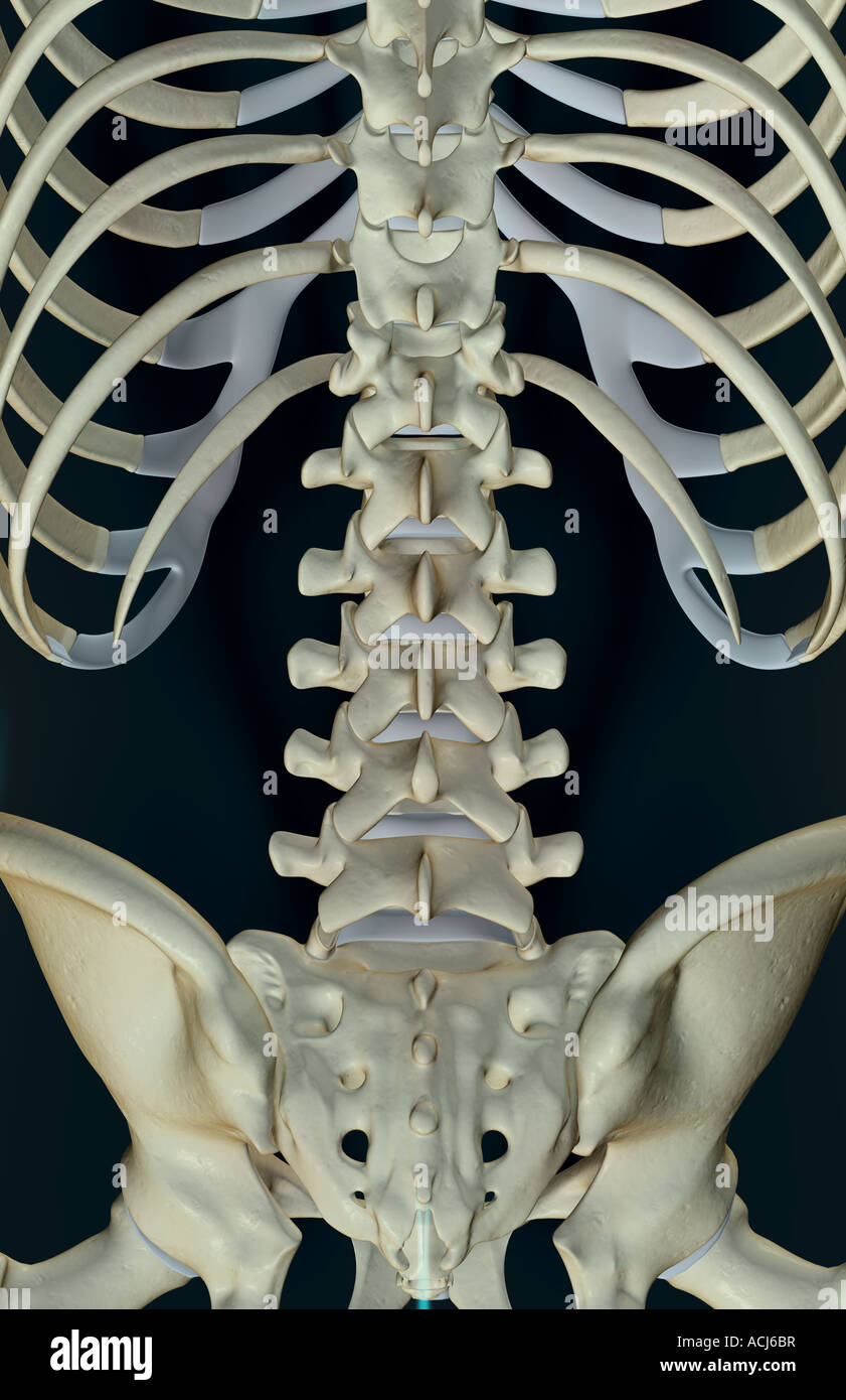 The Bones Of The Lower Back Stock Photo 13167082 Alamy