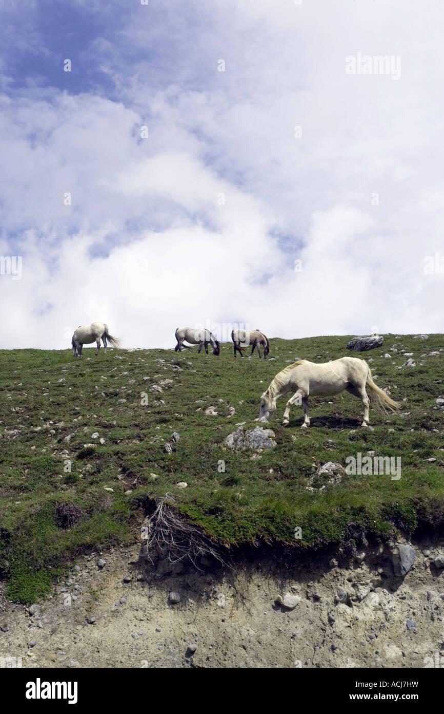 Burren horses on the west coast of Ireland burren way in Ireland - Stock Image