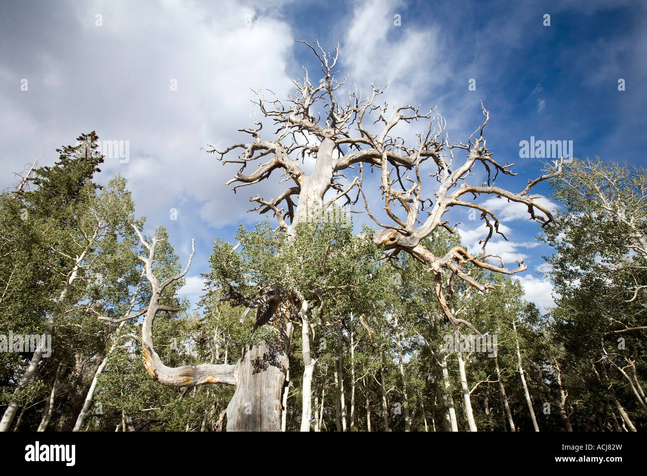 Briscoe pine and firs in Great Basin National Park - Stock Image