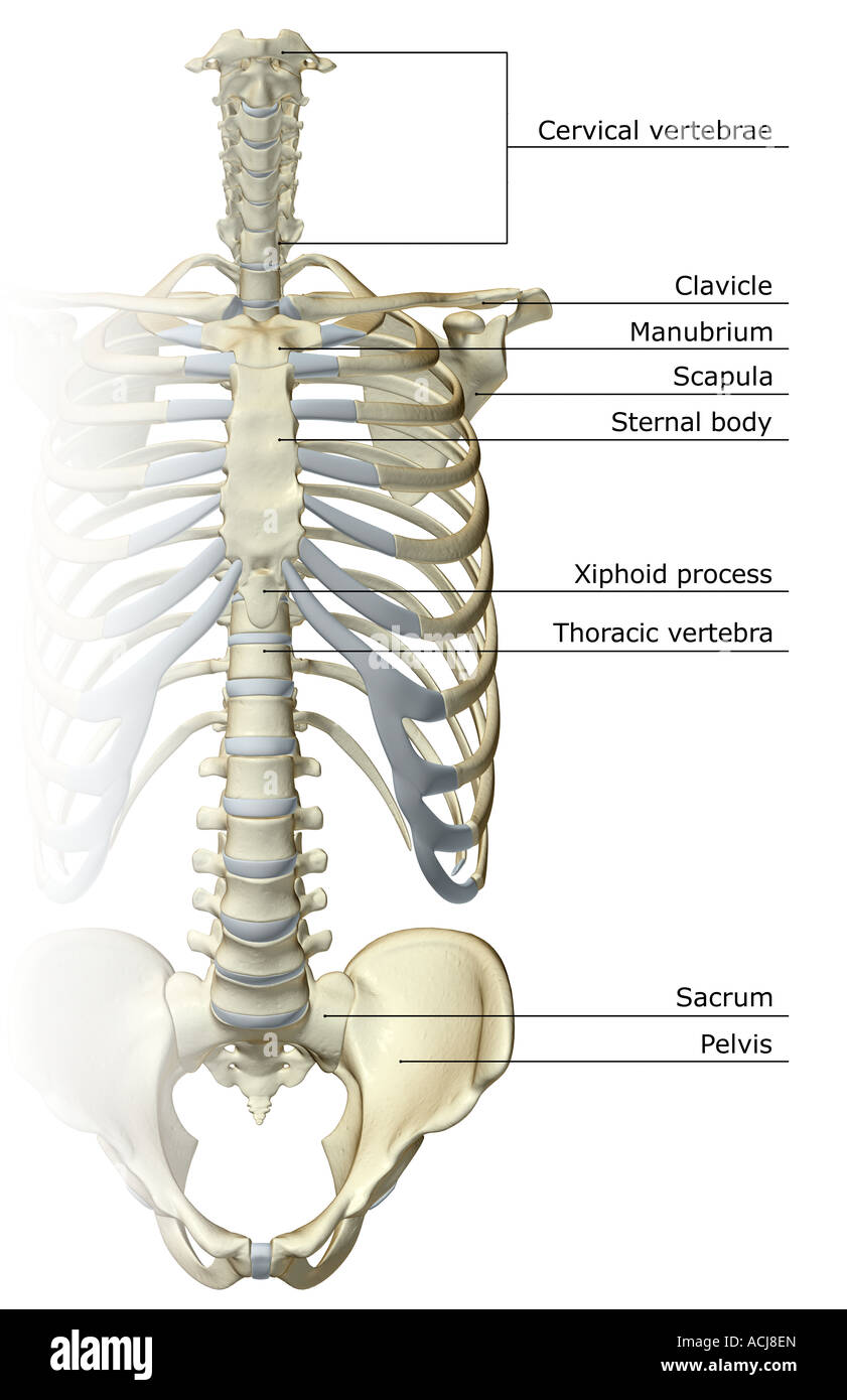 Thorax Anatomy Labeled Stock Photos Thorax Anatomy Labeled Stock