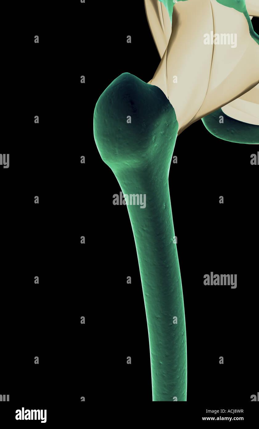 Iliofemoral Ligament Stock Photos & Iliofemoral Ligament Stock ...