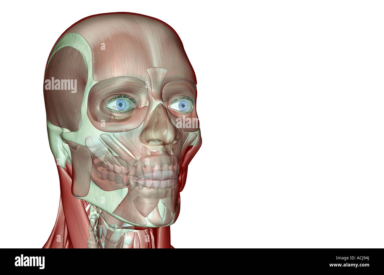 Orbicularis Oris Muscles Cut Out Stock Images Pictures Alamy