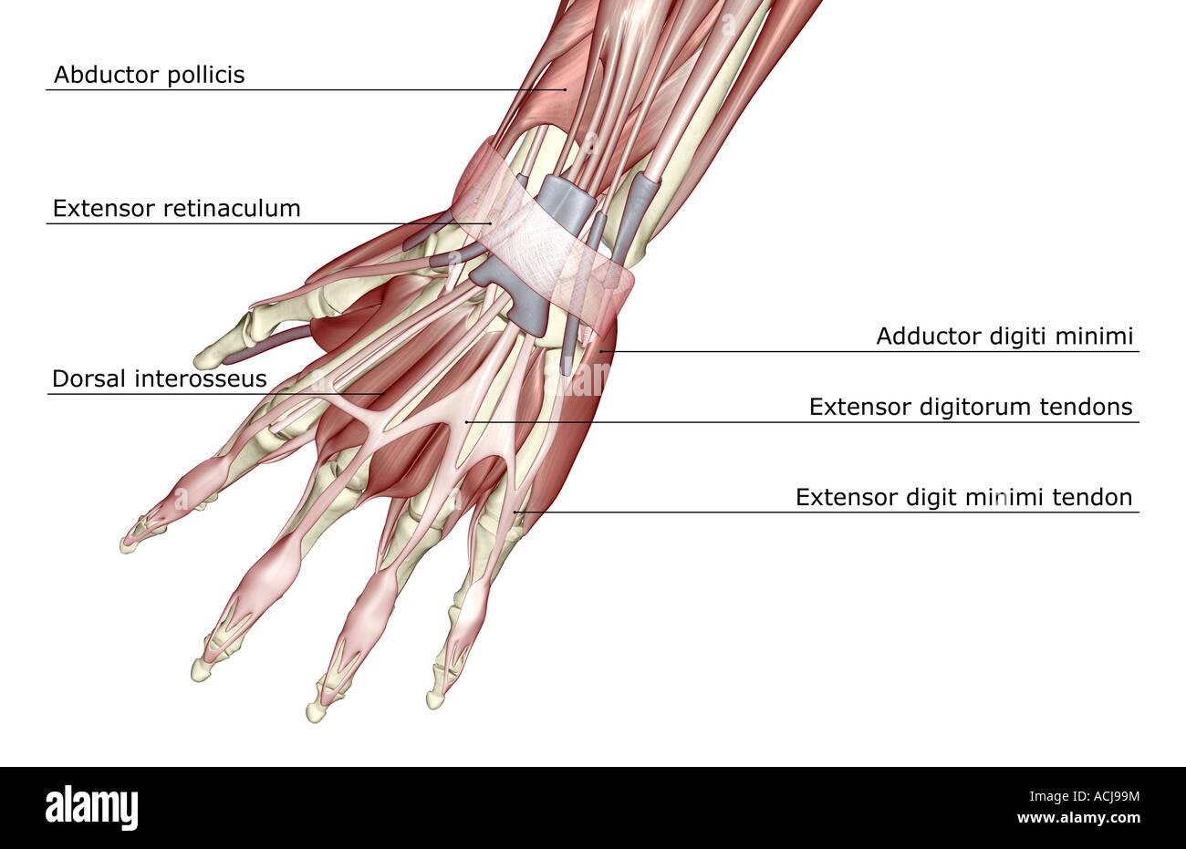 Extensor Tendons Of The Finger Extensor Tendons Stock Photos