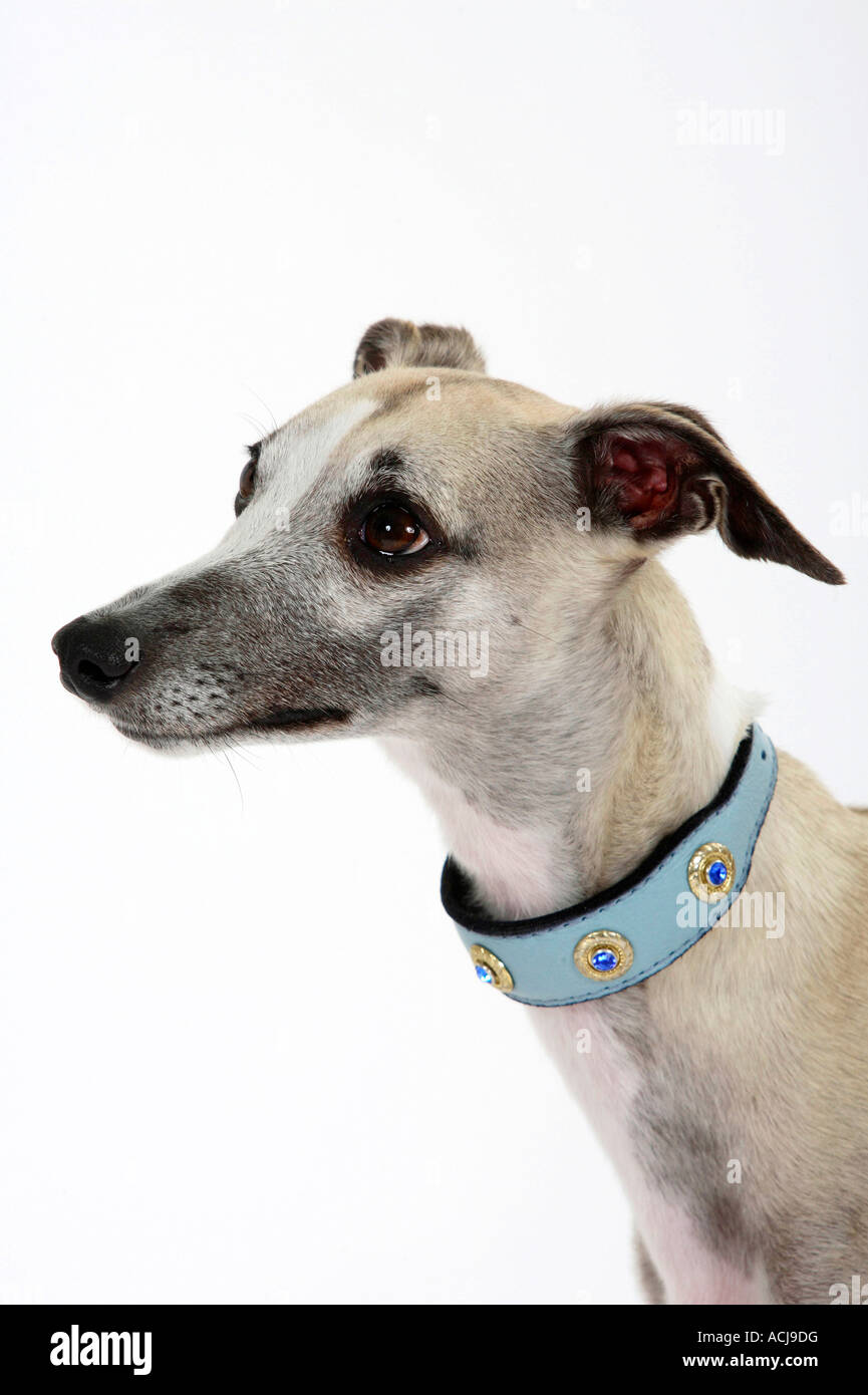 Whippet collar - Stock Image