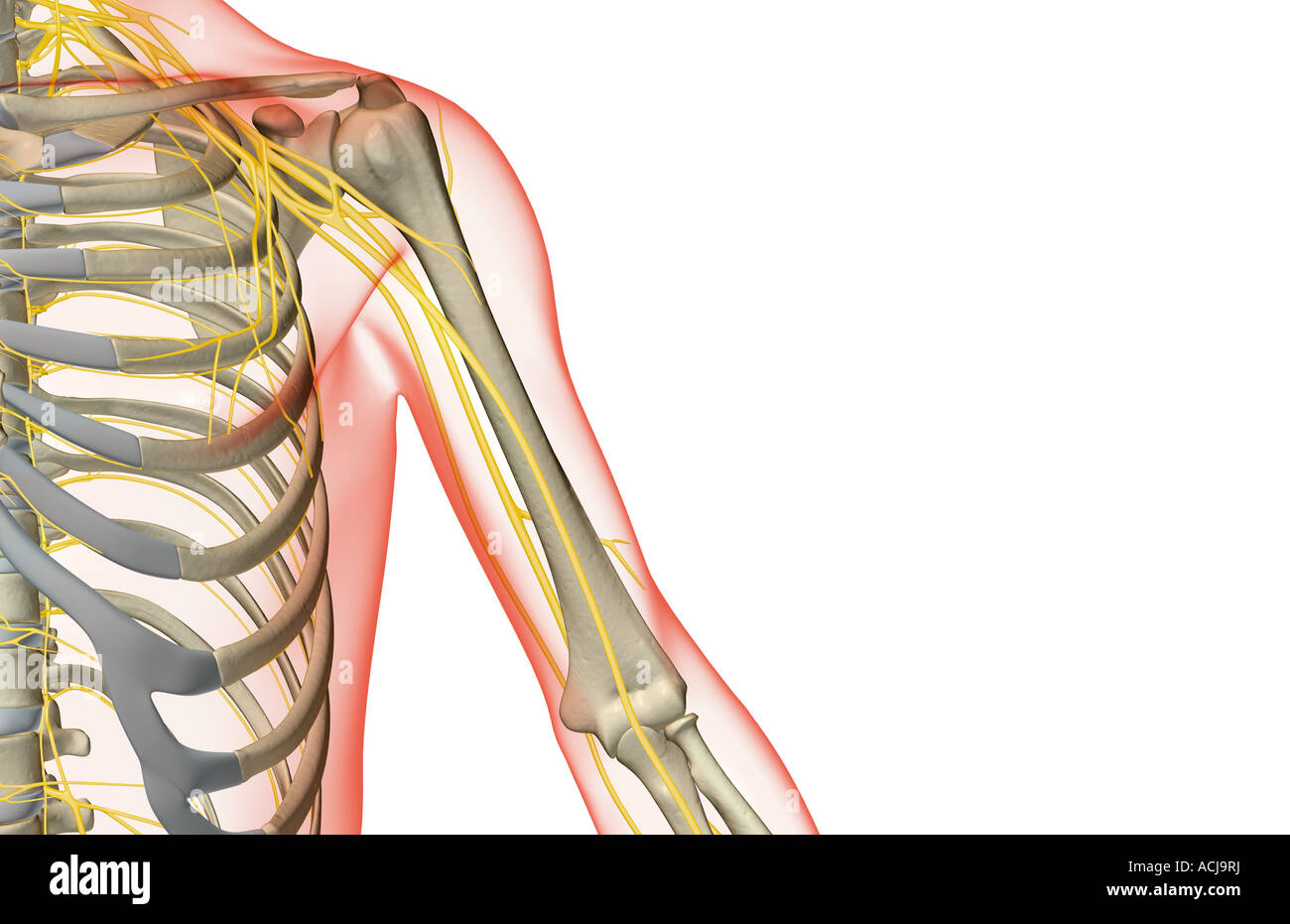 The nerves of the shoulder and upper arm Stock Photo: 13168229 - Alamy