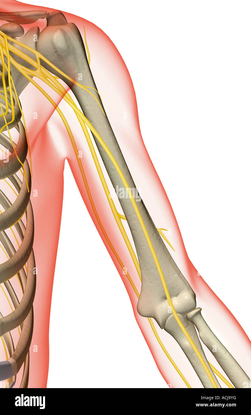 The nerves of the shoulder and upper arm Stock Photo: 13168275 - Alamy