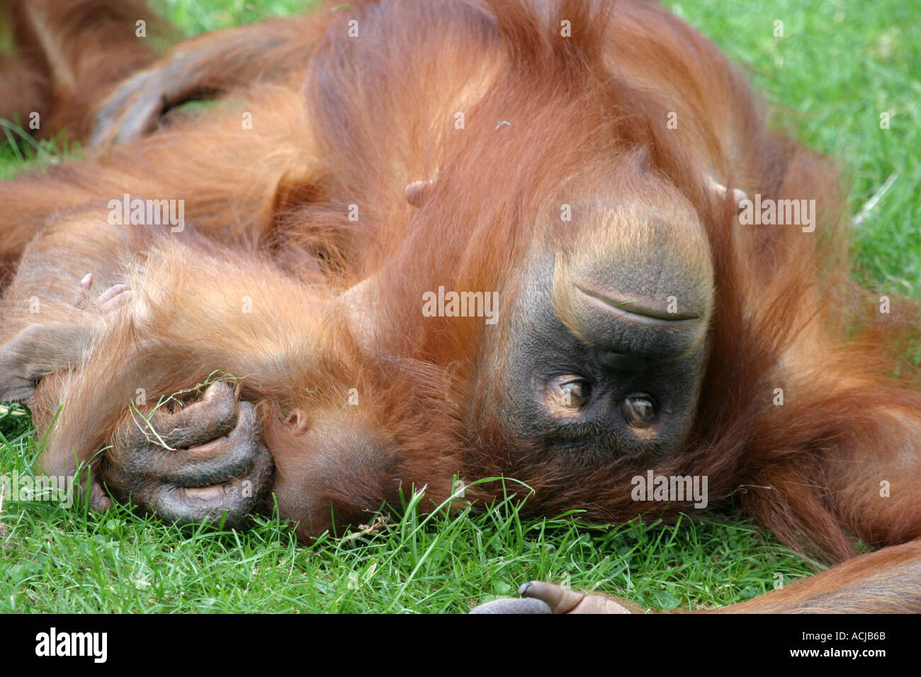 Orangutan mother and baby Motherly love - Stock Image