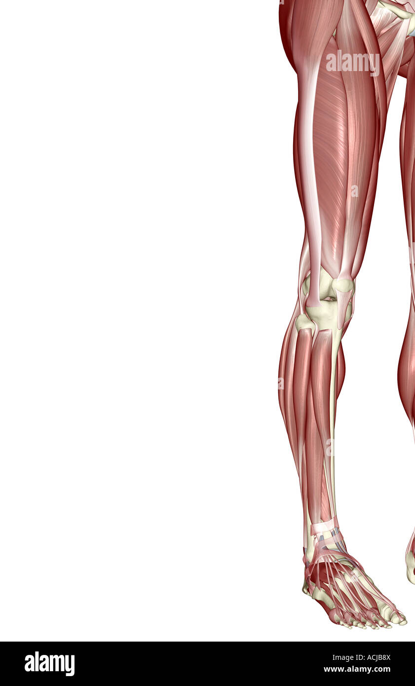 The Muscles Of The Lower Limb Stock Photo 13168729 Alamy