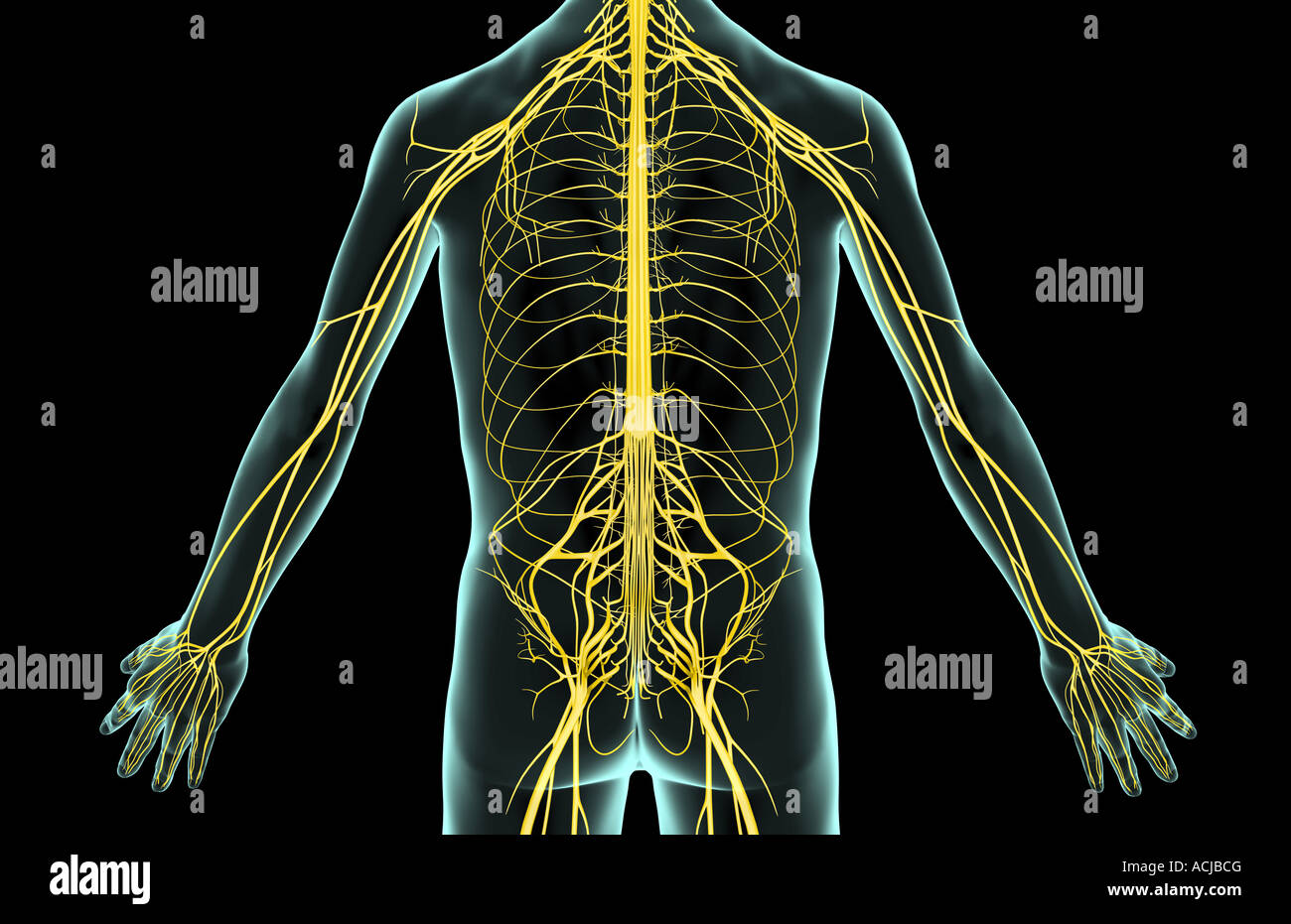 The nerves of the trunk Stock Photo