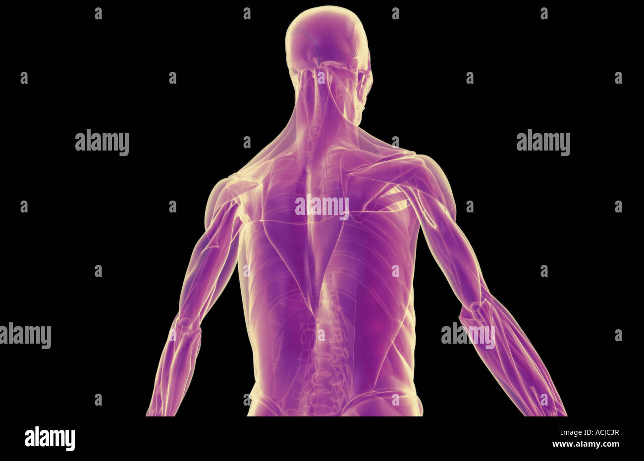 The Muscles Of The Upper Body Stock Photo 13169002 Alamy