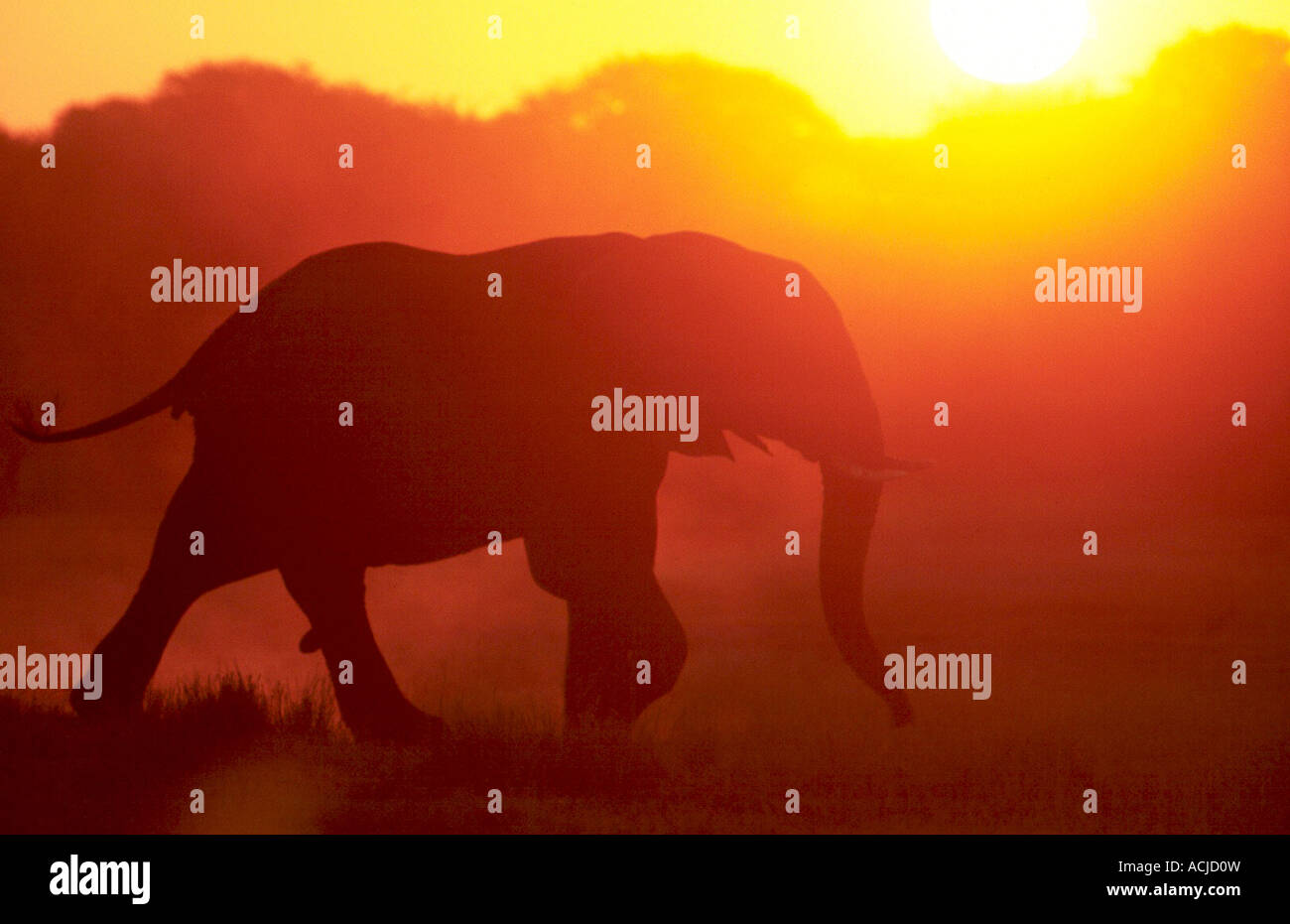 juvenile elephant, silhouetted, Loxodonta africana Stock Photo