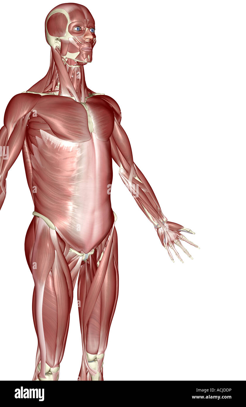The Muscles Of The Upper Body Stock Photo 13169457 Alamy