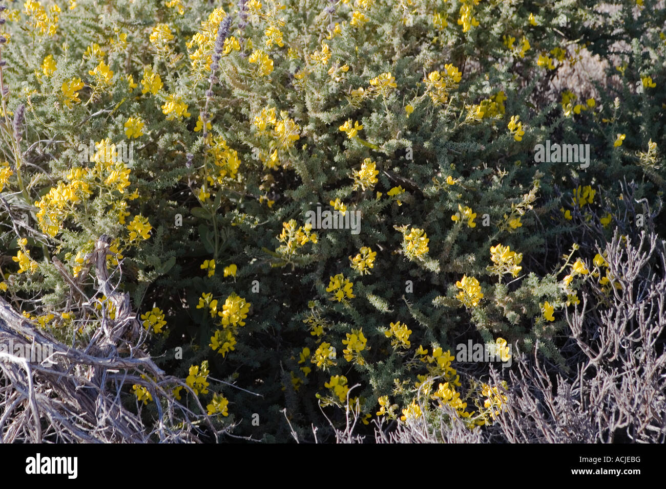 Small Shrub With Yellow Flowers Stock Photo 13169763 Alamy