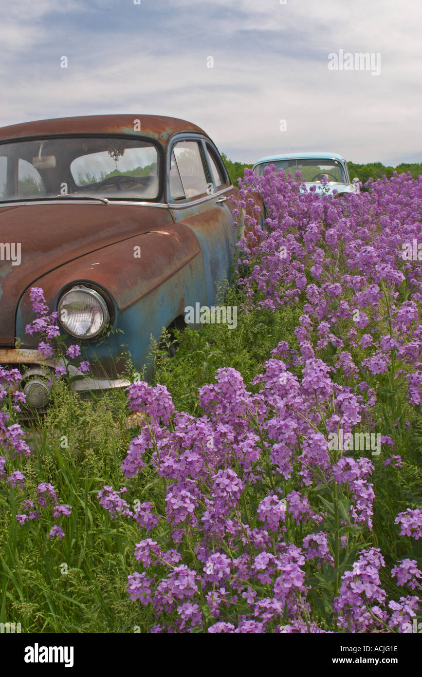 Old cars in a Wisconsin junk yard with purple flowers growing up ...