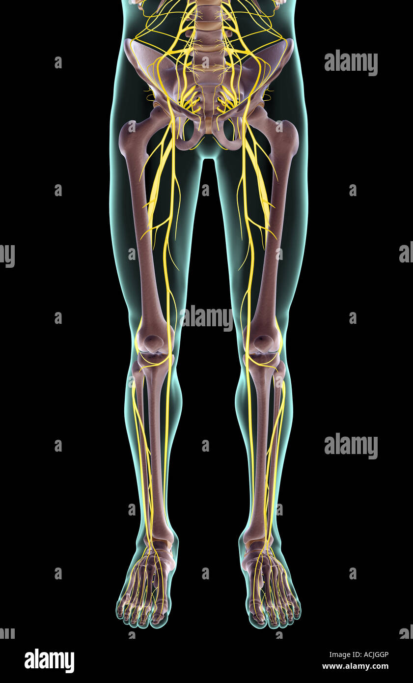 The nerves of the lower body Stock Photo: 13170501 - Alamy
