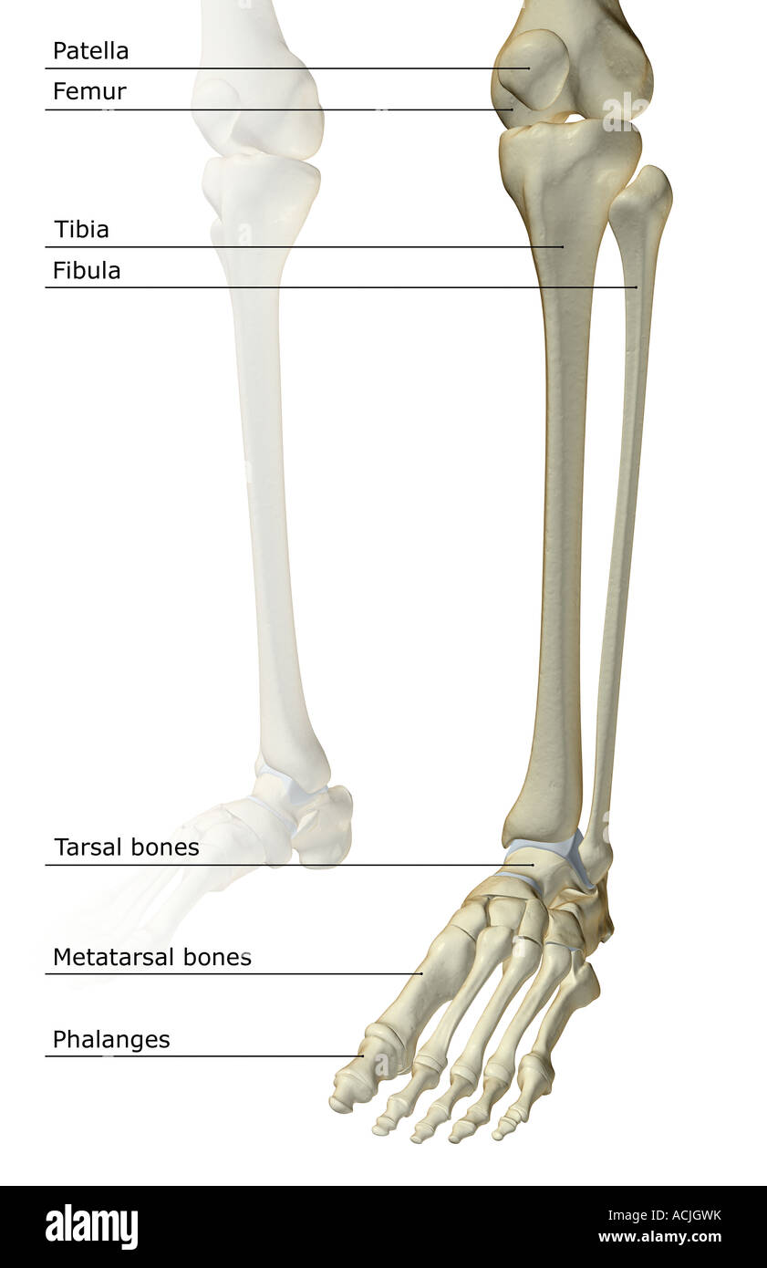 Foot Skeleton Tibia Fibula Bones Stock Photos Foot Skeleton Tibia
