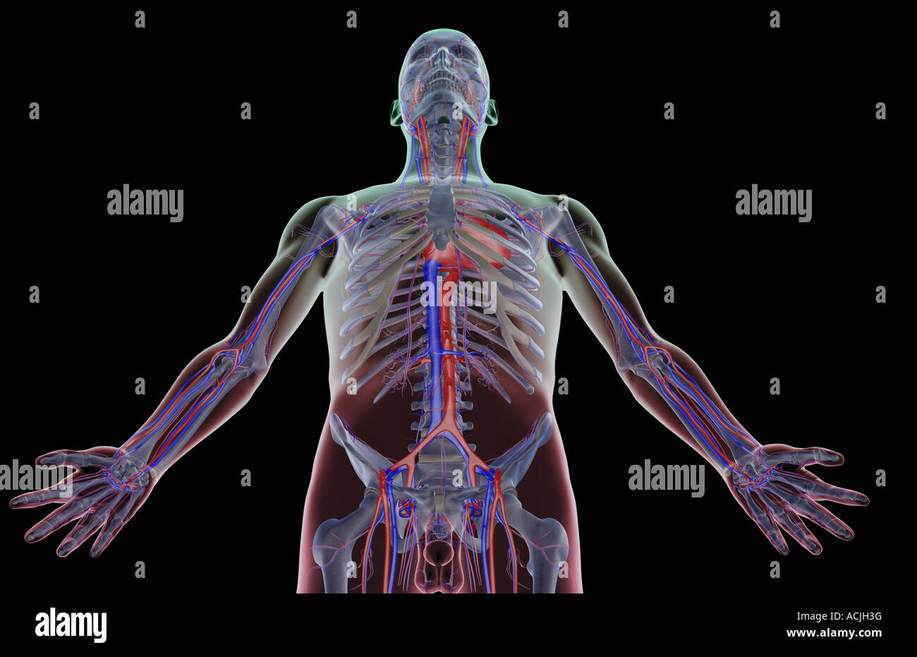 The Blood Supply Of The Upper Body Stock Photo 13170675 Alamy