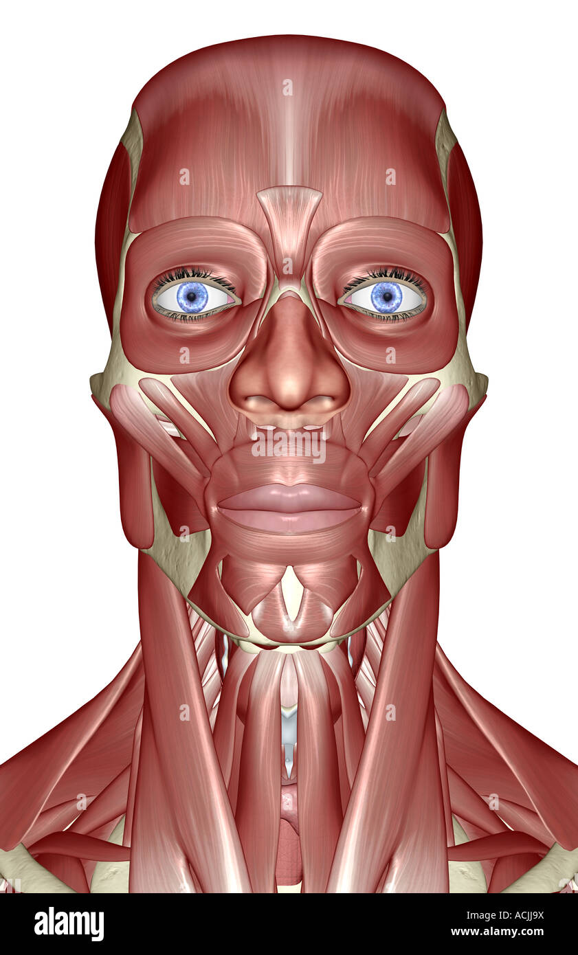 The muscles of the head neck and face Stock Photo