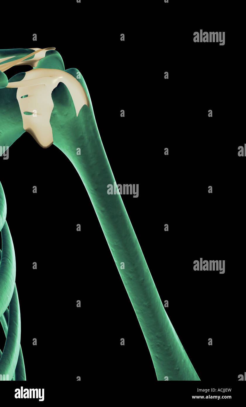 The Ligaments Of The Shoulder Stock Photo 13171152 Alamy