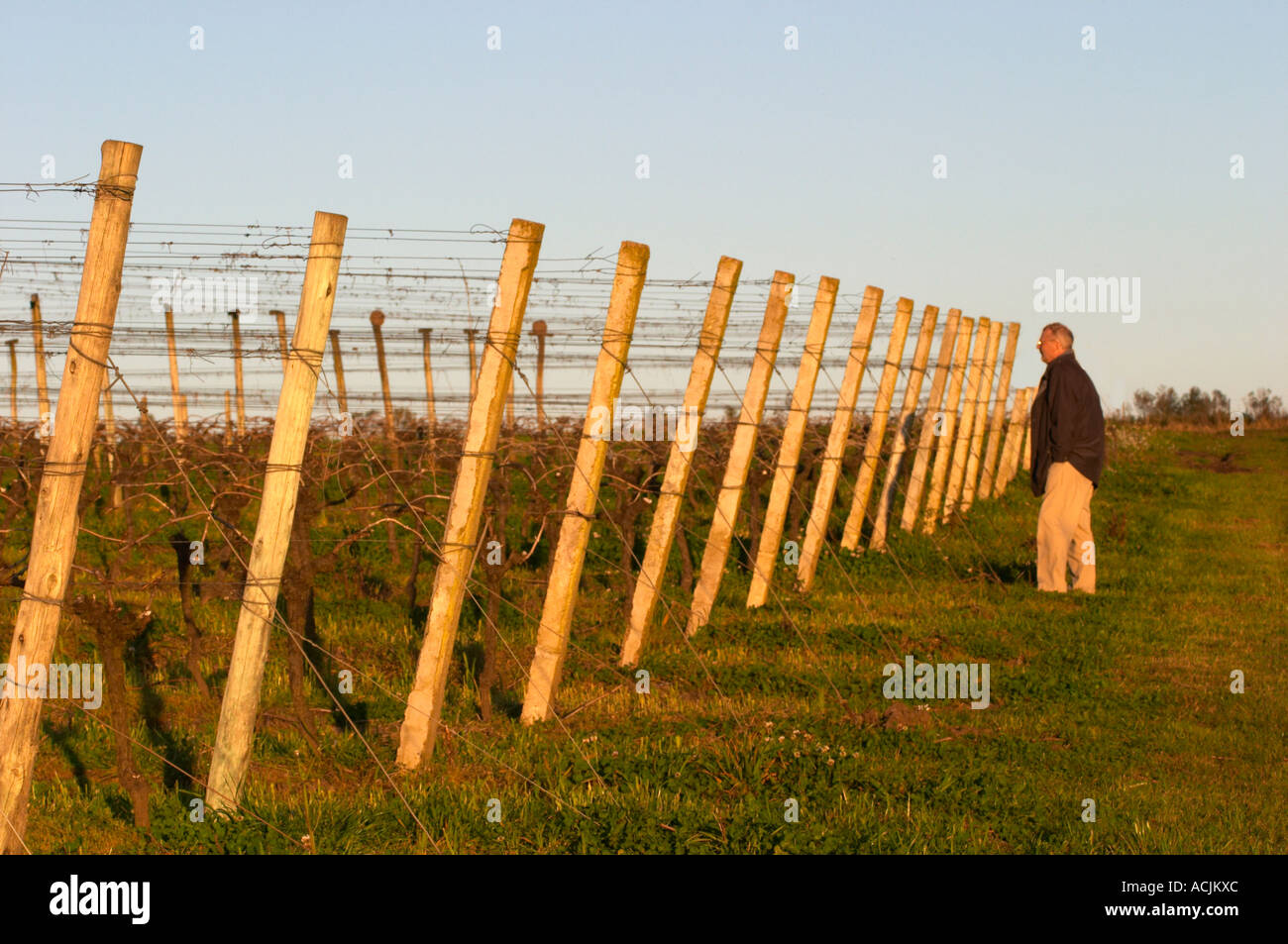 A man standing in the vineyard looking along the rows of vines with the wooden supporting poles and metal wires - Stock Image