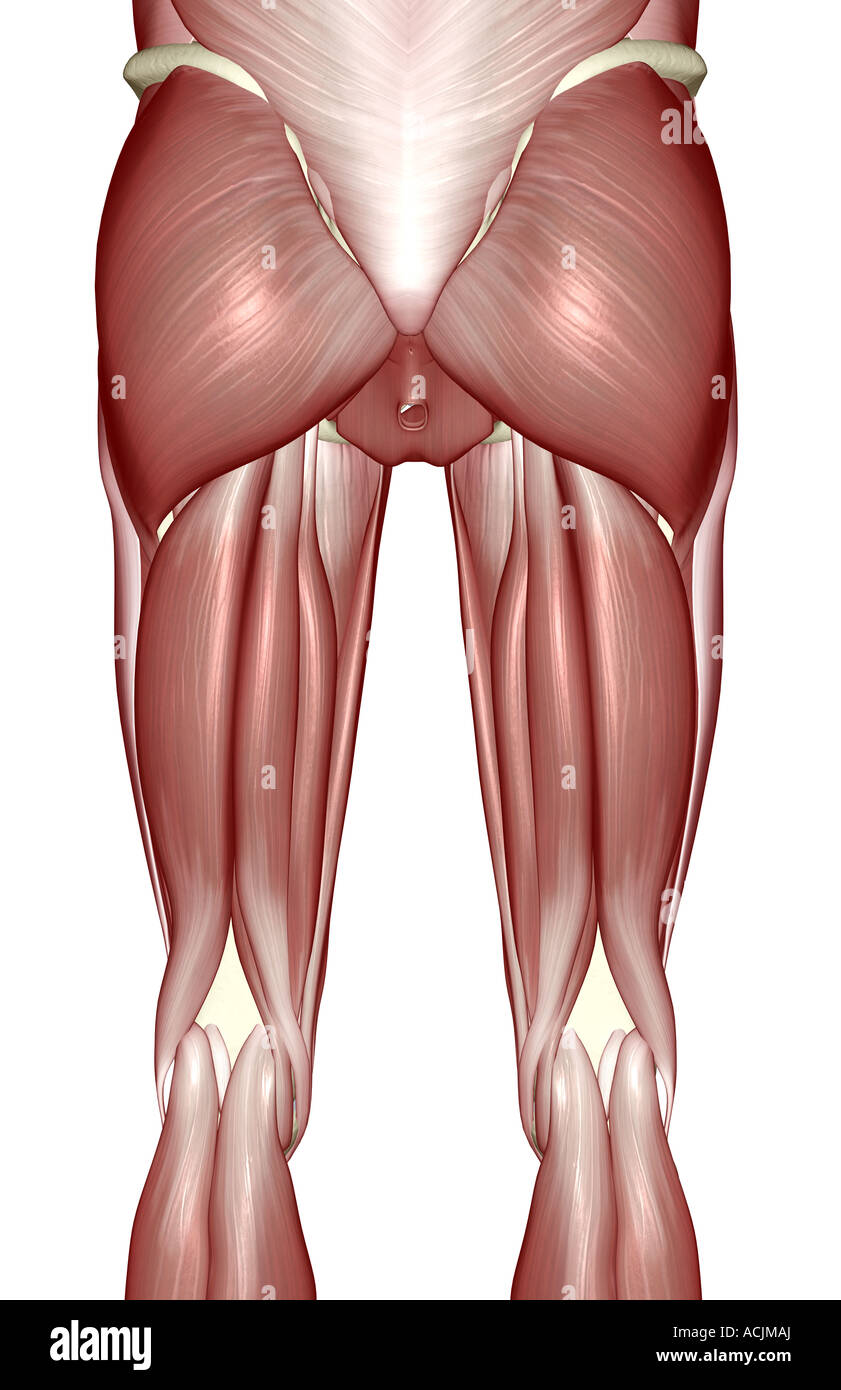 The Muscles Of The Lower Limb Stock Photo 13171769 Alamy