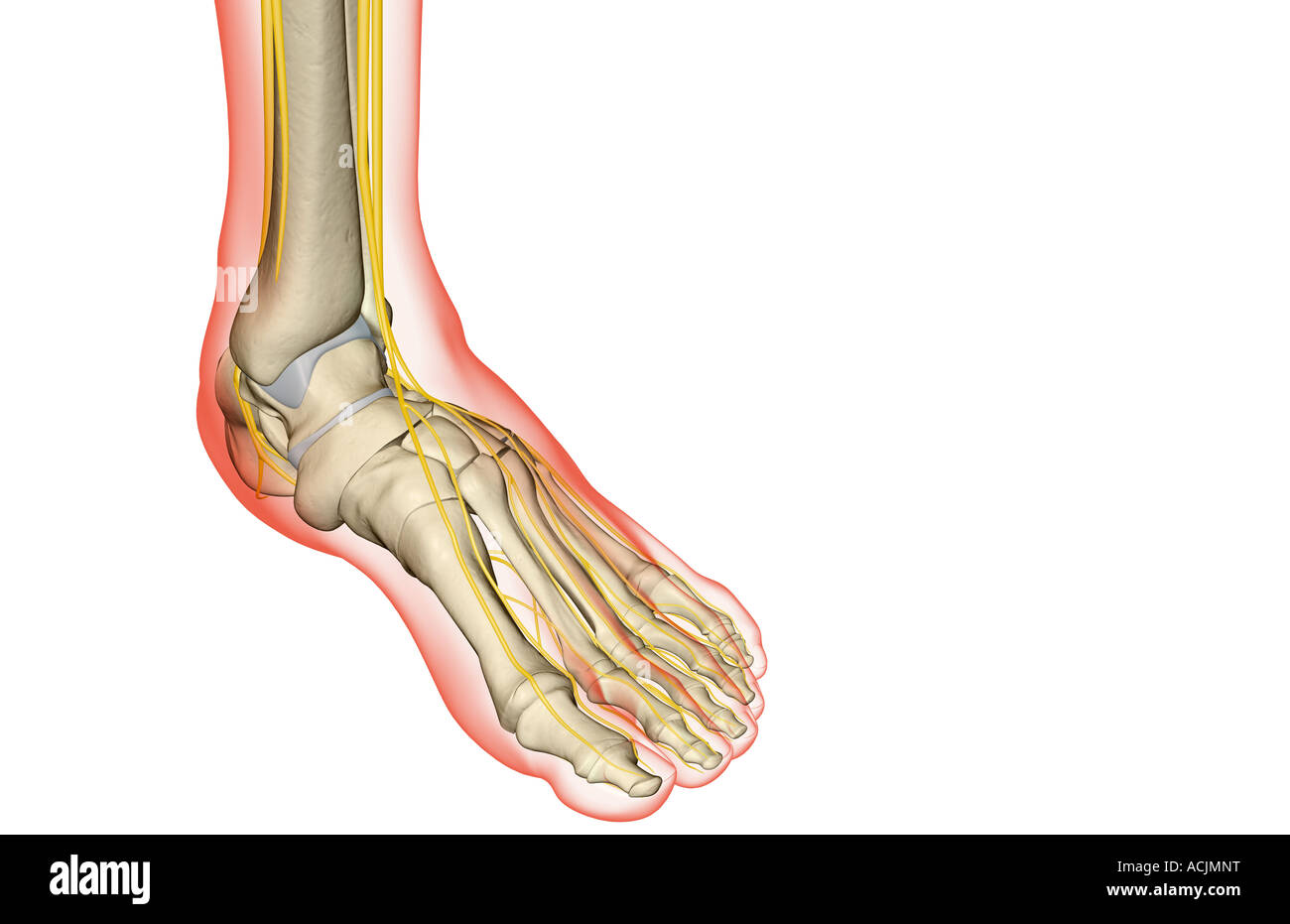 The nerves of the foot Stock Photo: 13171907 - Alamy