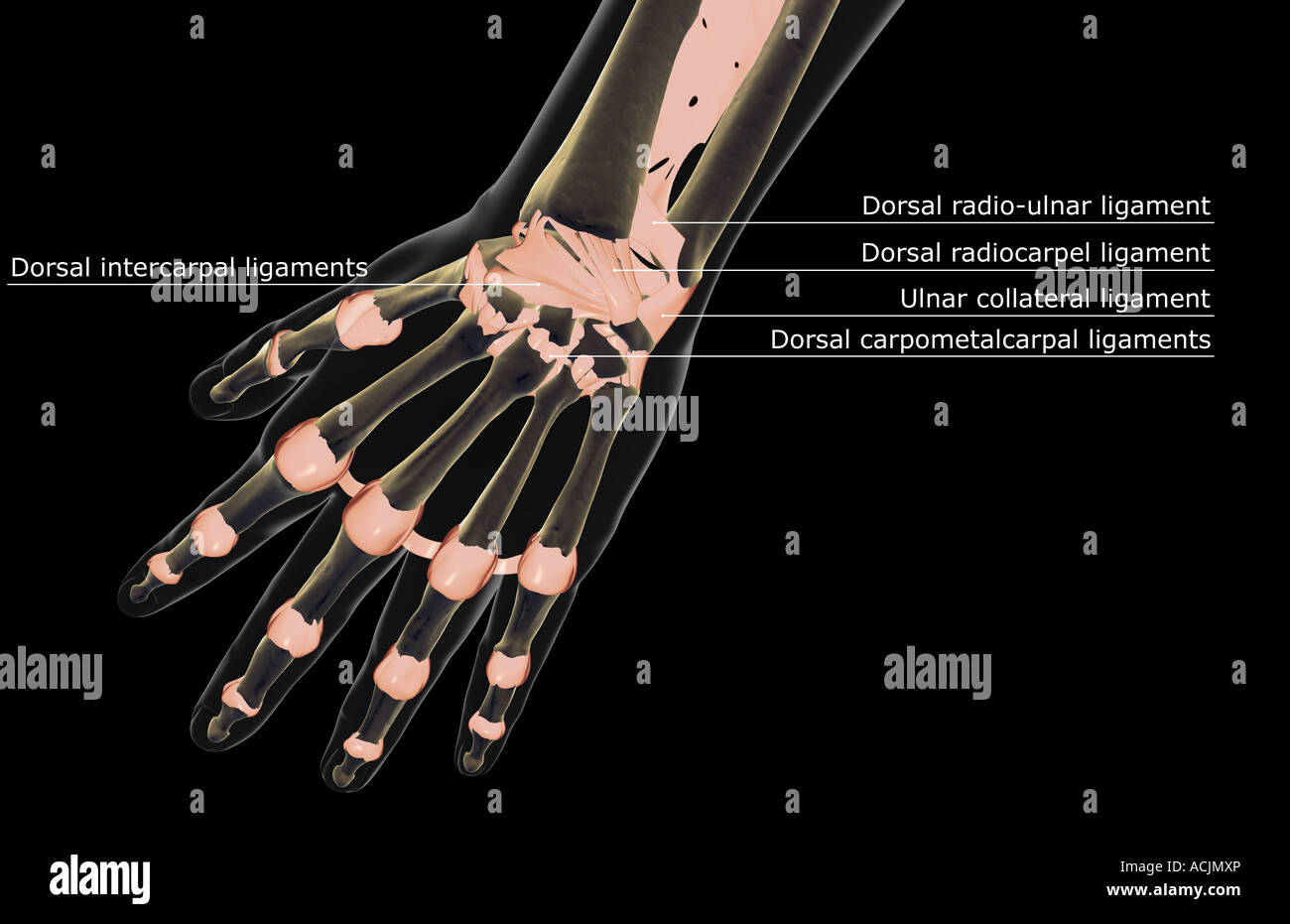 The Ligaments Of The Hand Stock Photo 13171965 Alamy