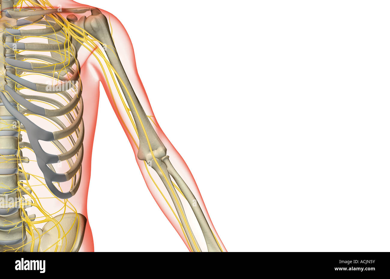 The nerves of the upper limb Stock Photo: 13172054 - Alamy