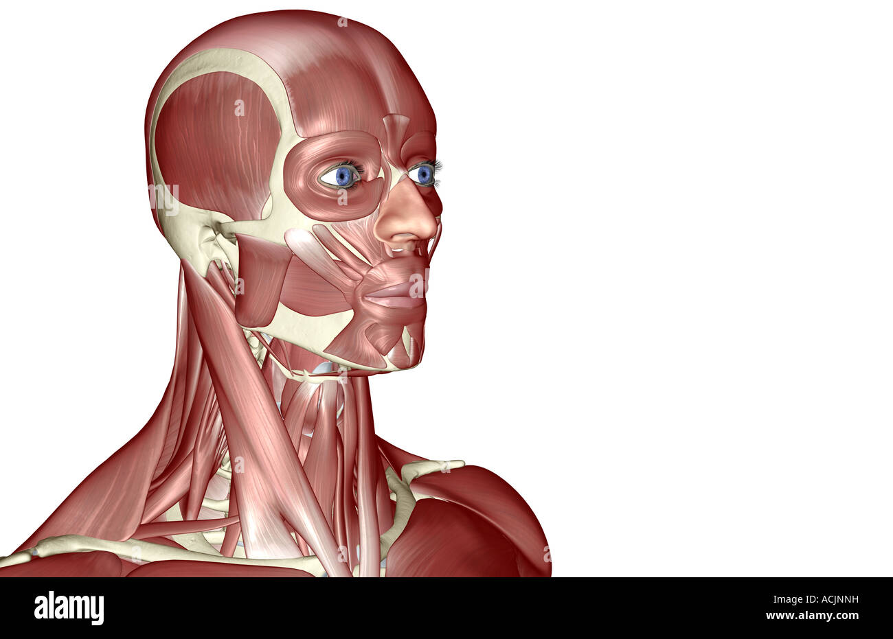 The muscles of the head and neck Stock Photo