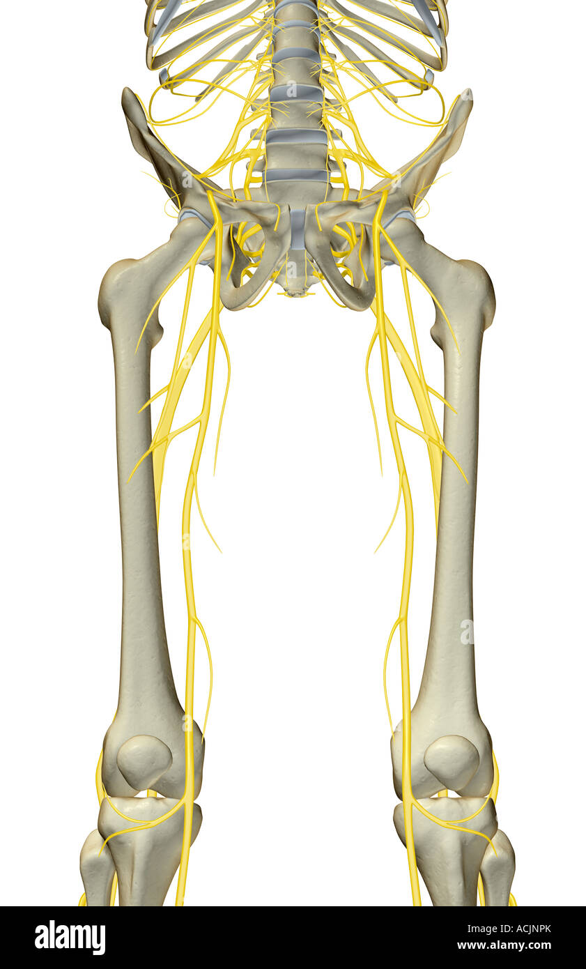 The Nerves Of The Lower Limb Stock Photo 13172250 Alamy