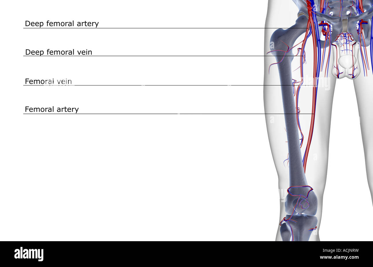 Thigh Artery Stock Photos & Thigh Artery Stock Images - Alamy