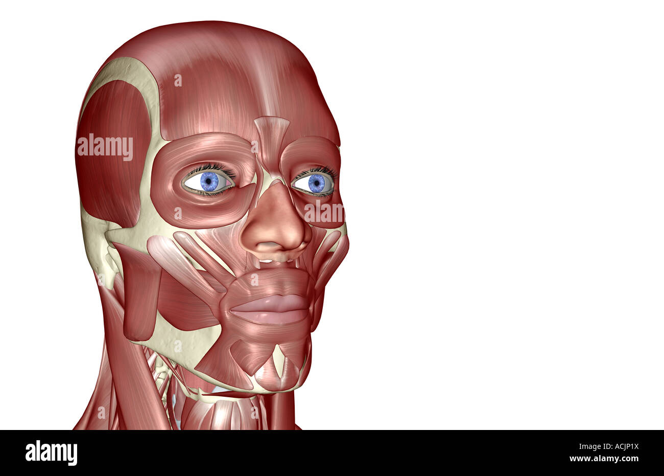 The muscles of the head and face Stock Photo