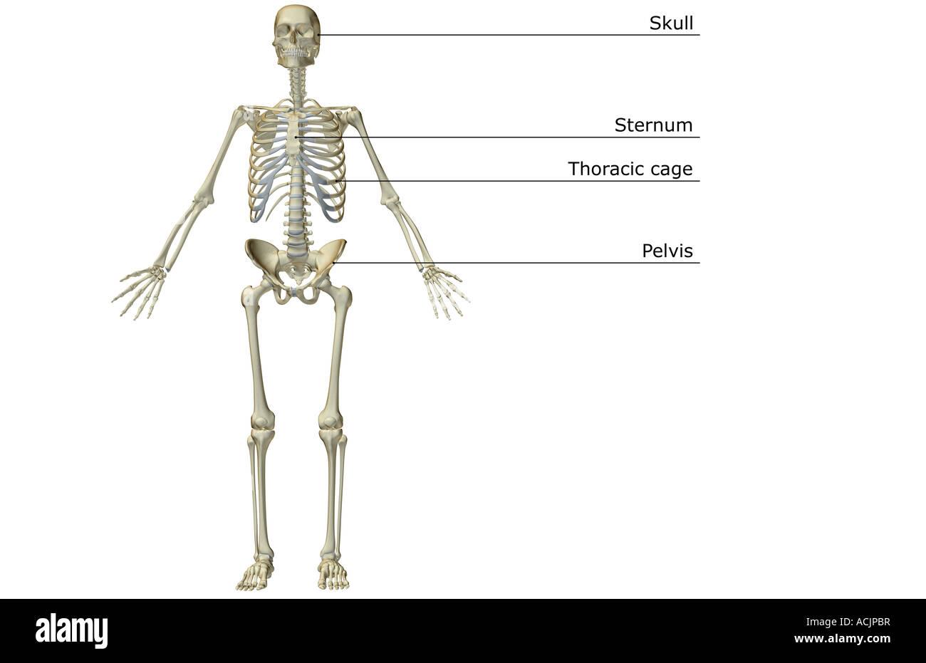 The Skeletal System Stock Photo 13172458 Alamy